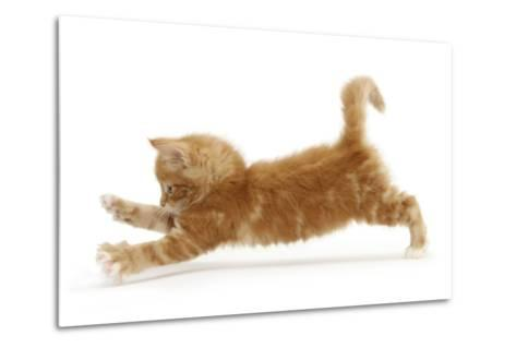 Ginger Kitten Jumping Forwards with Front Paws-Mark Taylor-Metal Print