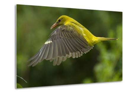 Golden Oriole (Oriolus Oriolus) Female in Flight to Nest, Bulgaria, May 2008-Nill-Metal Print
