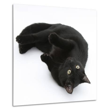 Black Male Cat, Joey, 6 Months, Rollling on Back-Mark Taylor-Metal Print