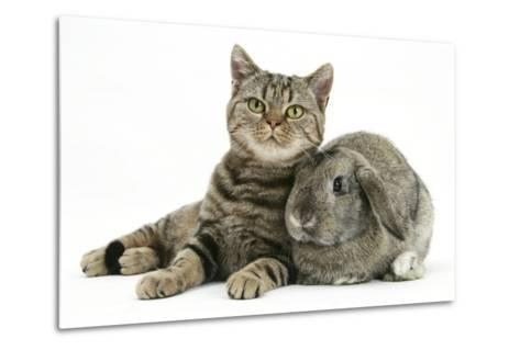 British Shorthair Brown Spotted Cat, Tiger Lily, with Agouti Lop Rabbit-Mark Taylor-Metal Print