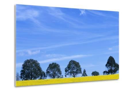 Field of Bright Yellow Mustard Seed--Metal Print