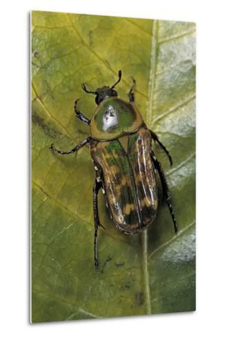 African Flower Beetle-Paul Starosta-Metal Print