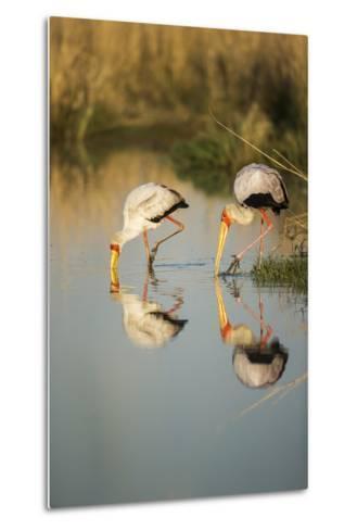 Yellow Billed Storks, Moremi Game Reserve, Botswana-Paul Souders-Metal Print