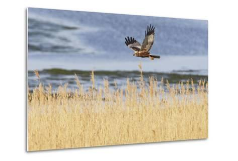 Marsh Harrier (Circus Aeruginosus) in Flight over Reedbeds, Texel, Netherlands, May 2009- Peltomäki-Metal Print