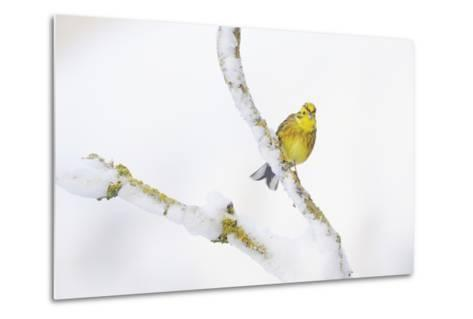 Yellowhammer (Emberiza Citrinella) Perched on Snowy Branch. Perthshire, Scotland, UK, February-Fergus Gill-Metal Print