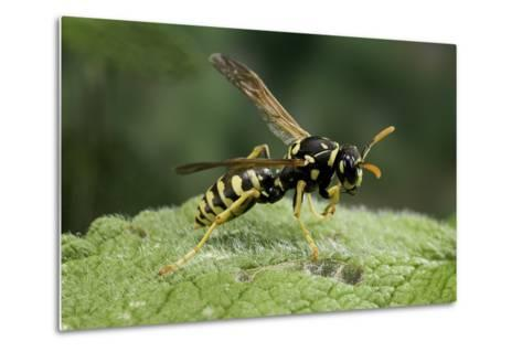 Polistes Dominula (European Paper Wasp)-Paul Starosta-Metal Print