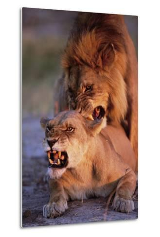 Lions Snarling While Mating-Paul Souders-Metal Print