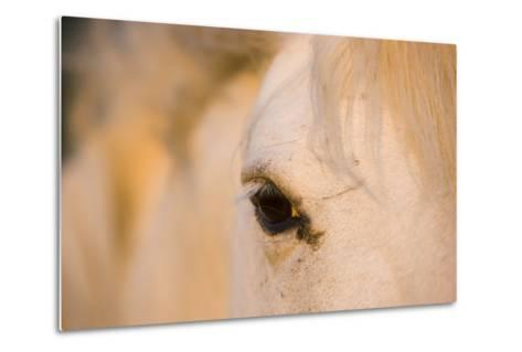 White Camargue Horse Close-Up of Head, Camargue, France, May 2009-Allofs-Metal Print