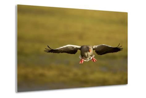 Greylag Goose (Anser Anser) in Flight, Caerlaverock Wwt, Scotland, Solway, UK, January-Danny Green-Metal Print