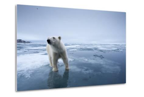 Polar Bear on Melting Ice--Metal Print