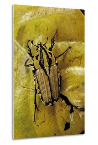 Gnathocera Triviattata Triviattata (Flower Beetle)-Paul Starosta-Metal Print
