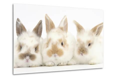 Three Cute Baby Rabbits in a Row-Mark Taylor-Metal Print