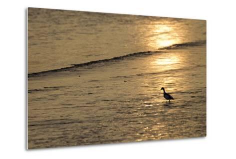 Sunrise over Coastal Mudflats with Shelduck Feeding, Campfield Marsh, Solway Firth, Cumbria, UK-Peter Cairns-Metal Print