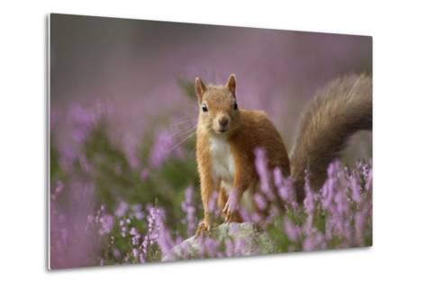 Red Squirrel (Sciurus Vulgaris) in Flowering Heather. Inshriach Forest, Scotland, UK, September-Pete Cairns-Metal Print