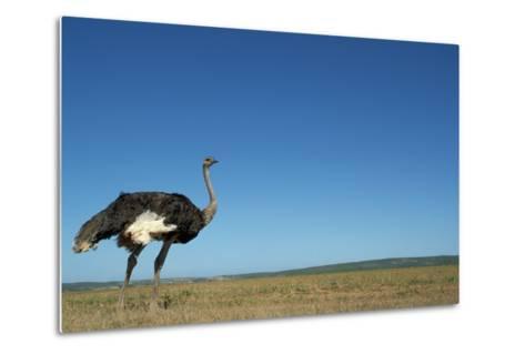Ostrich in a Pasture-Paul Souders-Metal Print