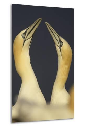 Northern Gannets (Morus Bassanus) Displaying, Saltee Islands, Ireland, May 2008- Green-Metal Print