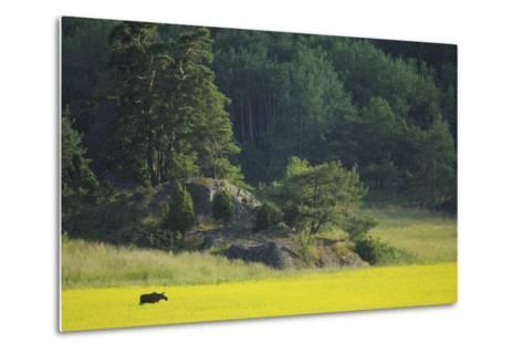 Female European Moose (Alces Alces) in Flowering Field, Elk, Morko, Sormland, Sweden, July 2009-Widstrand-Metal Print