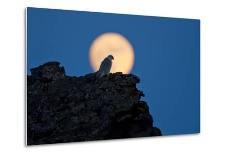 Gyrfalcon (Falco Rusticolus) Silhouetted at Full Moon, Myvatn, Thingeyjarsyslur, Iceland, April-Bergmann-Metal Print