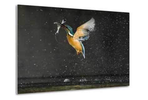 Kingfisher (Alcedo Atthis) in Flight Carrying Fish, Balatonfuzfo, Hungary, January 2009-Nov?k-Metal Print