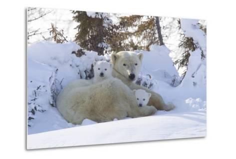 Polar Bear (Ursus Maritimus) and Cubs-David Jenkins-Metal Print