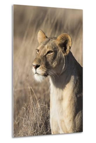 Lioness (Panthera Leo), Lewa Wildlife Conservancy, Laikipia, Kenya, East Africa, Africa-Ann and Steve Toon-Metal Print