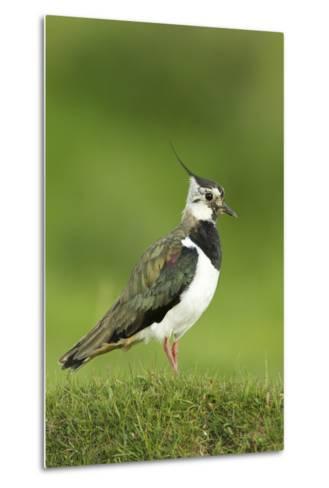 Lapwing (Vanellus Vanellus) Adult in Breeding Plumage, Scotland, UK, June-Mark Hamblin-Metal Print
