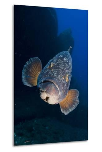 Dusky Grouper (Epinephelus Marginatus) Lavezzi Islands, Corsica, France, September- Pitkin-Metal Print