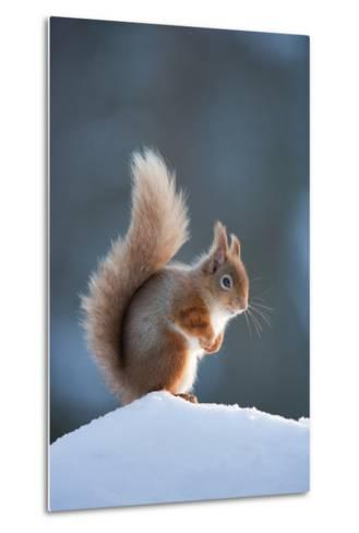 Red Squirrel (Sciurus Vulgaris) Adult in Snow, Cairngorms National Park, Scotland, February-Mark Hamblin-Metal Print