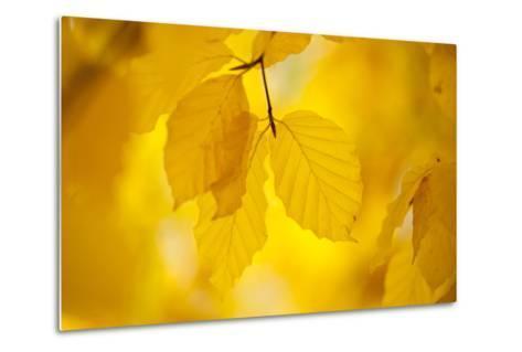 European Beech Tree {Fagus Sylvatica} Yellow Leaves in Autumn, Sence Valley, Leicestershire, UK-Ross Hoddinott-Metal Print