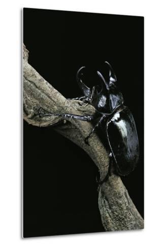 Chalcosoma Atlas (Atlas Beetle)-Paul Starosta-Metal Print