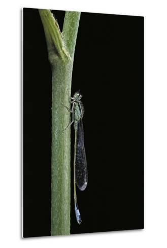 Ischnura Elegans (Blue-Tailed Damselfly)-Paul Starosta-Metal Print
