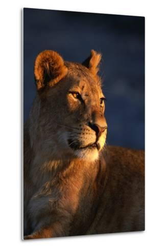 Female Lion-Paul Souders-Metal Print