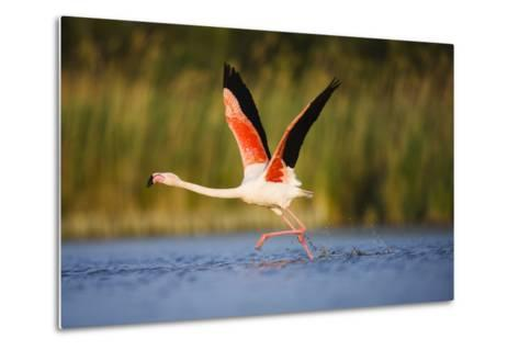 Greater Flamingo (Phoenicopterus Roseus) Taking Off from Lagoon, Camargue, France, May 2009-Allofs-Metal Print