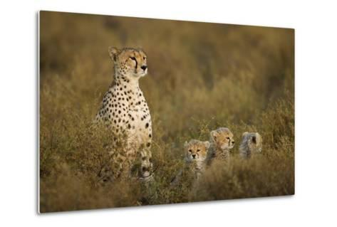 Cheetah Cubs and their Mother-Paul Souders-Metal Print