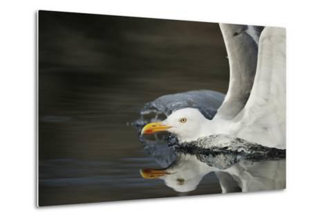 Herring Gull (Larus Argentatus) Landing on Water, Flatanger, Nord Tr?ndelag, Norway, August 2008-Widstrand-Metal Print
