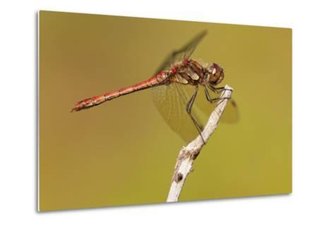 Male Common Darter Dragonfly (Sympetrum Striolatum) Resting on the End of a Twig, Dorset,Uk-Ross Hoddinott-Metal Print