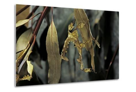 Extatosoma Tiaratum (Giant Prickly Stick Insect) - Larva-Paul Starosta-Metal Print