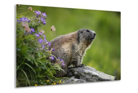 Alpine Marmot (Marmota Marmota) Hohe Tauern National Park, Austria, July 2008-Lesniewski-Metal Print
