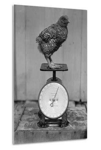 Bird Standing on Weight Scale--Metal Print