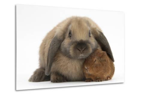 Baby Guinea Pig and Rabbit-Mark Taylor-Metal Print
