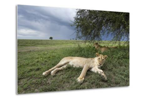 Lioness Resting on Savanna--Metal Print
