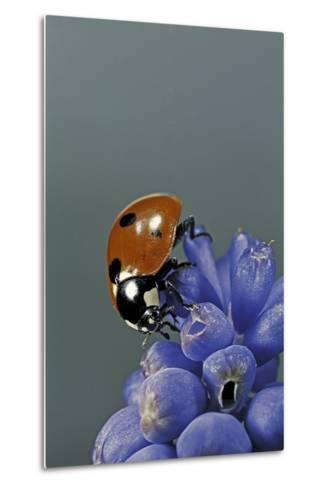 Coccinella Septempunctata (Sevenspotted Lady Beetle)-Paul Starosta-Metal Print
