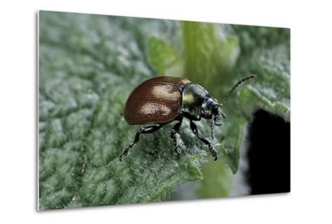Chrysolina Polita (Leaf Beetle)-Paul Starosta-Metal Print