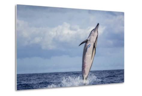 Hawaiian Spinner Dolphin (Stenella Longirostris)-Michael Nolan-Metal Print