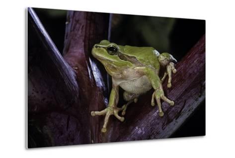 Hyla Meridionalis (Mediterranean Tree Frog)-Paul Starosta-Metal Print