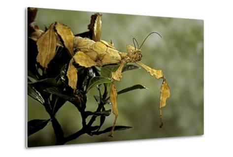 Extatosoma Tiaratum (Giant Prickly Stick Insect)-Paul Starosta-Metal Print