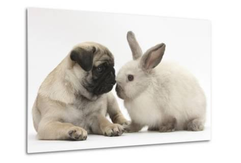 Fawn Pug Puppy, 8 Weeks, and Sooty Colourpoint Rabbit-Mark Taylor-Metal Print