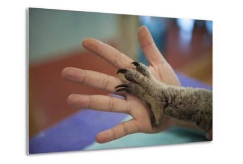 The Hands of a Veterinarian and a Federally Threatened Koala-Joel Sartore-Metal Print