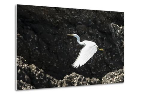 A White Western Reef Heron Taking Off from a Sandstone Escarpment Covered with Oysters-Jeff Mauritzen-Metal Print