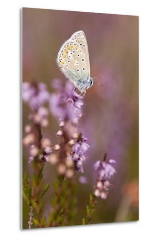 Common Blue Butterfly (Polyommatus Icarus), Resting on Flowering Heather, Dorset, England, UK-Ross Hoddinott-Metal Print
